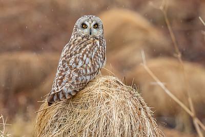 JORDUGLE SHORT-EARED OWL tmalm