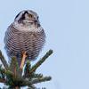 Haukugle, Hawk Owl, Surnia ulula, Tromsø. Norway
