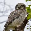 Hawk Owl - Haukugle juvenil