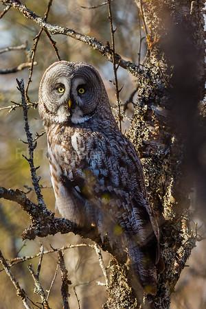 LAPPUGLE Great grey owl Troms Norway