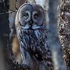 lappugle, Great grey owl