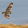 JORDUGLE  SHORT-EARED OWL, Vannøya, Norway