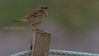 LAPPIPLERKE RED-THROATED PIPIT