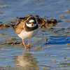 SANDLO, RINGED PLOVER, TROMSØ, NORWAY