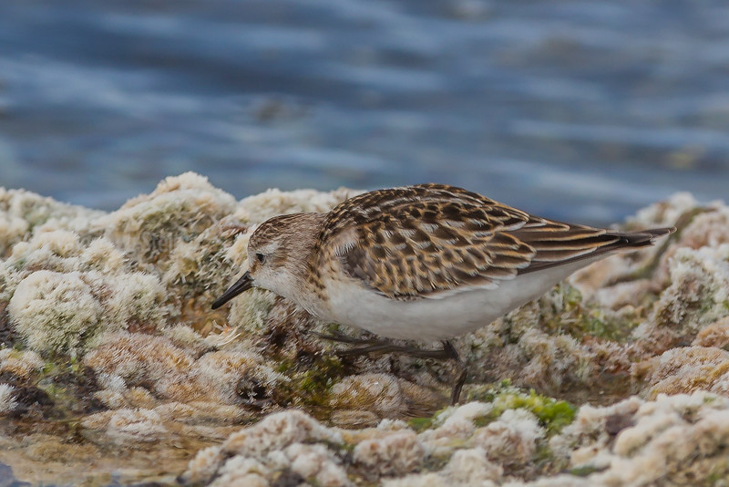 Dvergsnipe;  little stint; kreta, Greece