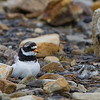 SANDLO MED UNGE, RINGED PLOVER WITH CHICK, SVALBARD
