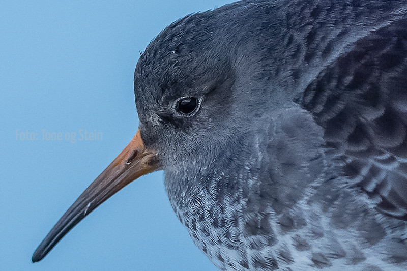 fjæreplytt; norway; purple sandpiper; tromsø; vinter; winter