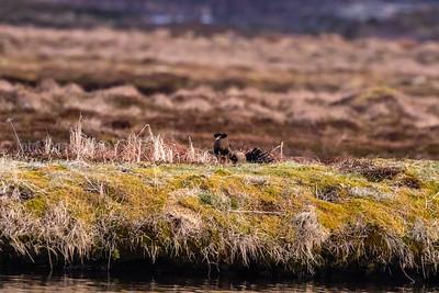 Brushane; norway; ruff; vannøya, Karlsøy; vadefugl