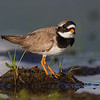 SANDLO Ringed plover Norway
