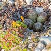 Fjæreplytt, Purple sandpiper, Calidris maritima, egg, svalbard, Norway