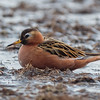 POLARSVØMMESNIPE, RED PHALAROPE, SVALBARD, NORWAY