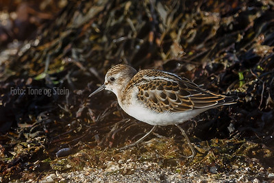 DVERGSNIPE Little stint Tromsø Norway