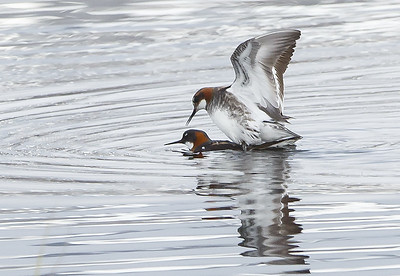 SVØMMESNIPE, Red-necked Phalarope, pair copulating, Tromsø, Norway