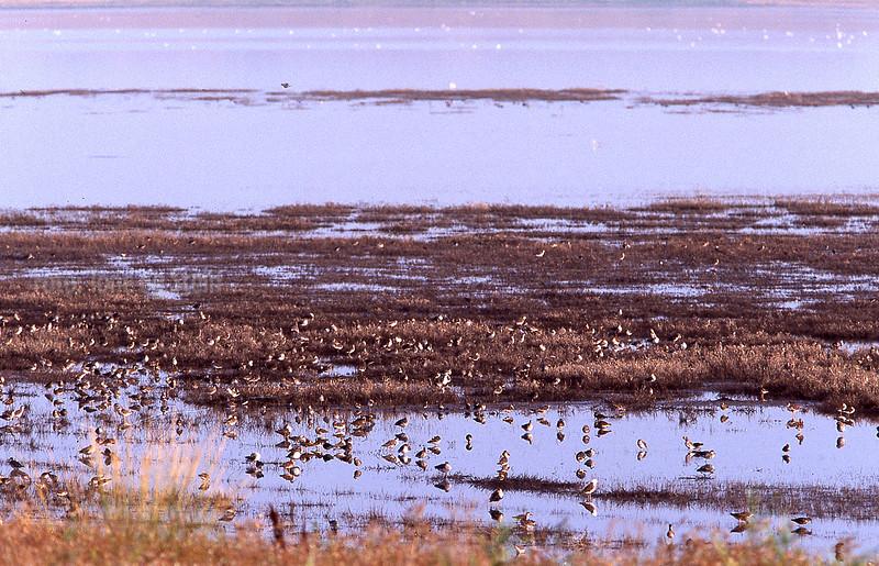 Waders in Sivash, Ukraine