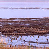 Waders in Sivash, Ukraine