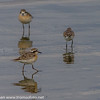 KITTLITZLO kittlitz's plover kenya;