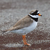 SANDLO Ringed plover Tromsø Norway