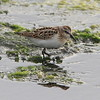 DVERGSNIPE, Little Stint, Tromsø, Norway