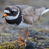 sandlo; Ringed plover, sommer; Svalbard; vadefugl, hiaticula;