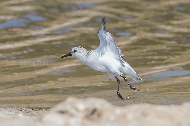 sandløper; spania; sanderling; calidris alba
