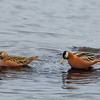 polarsvømmesnipe, RED PHALAROPE, SVALBARD, NORWAY MALE AND FEMALE