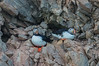 LUNDEFUGL Arctic puffin SVALBARD