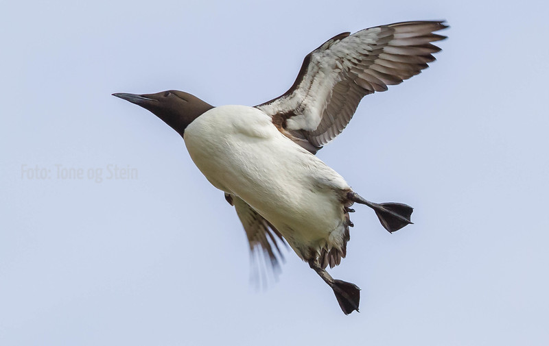 Lomvi, Common guillemots, Hornøya, Norway