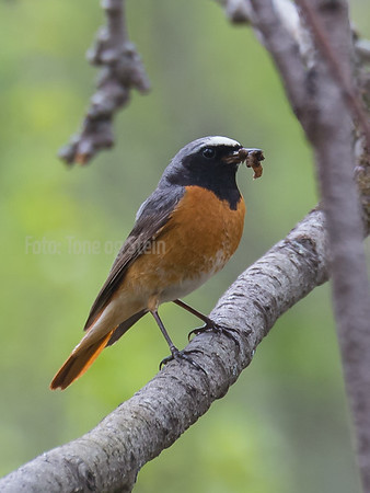 RØDSTJERT, COMMON REDSTART, Dividal, Norway