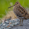 dobbeltbekkasin; gallinago; great snipe; media; tromsø; vadefugl