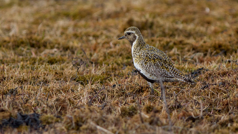 Golden plover, heilo