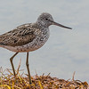 GLUTTSNIPE, GREENSHANK, NORWAY