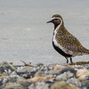 HEILO, GOLDEN PLOVER, TROMSØ, NORWAY
