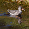 SOTSNIPE Spotted redshank Norway
