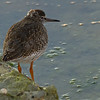 Common Redshank, juvenile