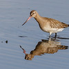 lappspove; Bar-tailed godwit, norway; tromsø