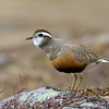 Dotterel female, Boltit hunn