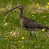 Storspove, eurasian curlew; kvaløya; norway; shorebird; vadefugl