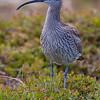 SMÅSPOVE, Whimbrel, tromsø, Norway