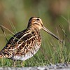 ENKELTBEKKASIN, Common Snipe, NORWAY