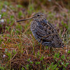 Dobbeltbekkasin Great snipe Tromsø Norway