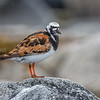 Steinvender turnstone Norway