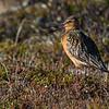 lappspove; Bartailed godwit; kautokeino;  shorebird; vadefugl