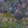 DOBBELTBEKKASIN, GREAT SNIPE, TROMSØ, NORWAY