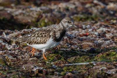 STEINVENDER ruddy turnstone Tromsø Norway