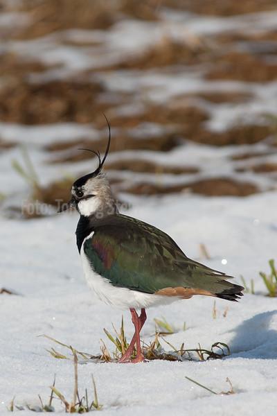 VIPE, Eurasian Lapwing, Vanellus vanellus, Norway