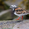 STEINVENDER TURNSTONE ARENARIA INTERPRES NORWAY