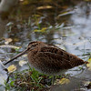 ENKELTBEKKASIN, Common snipe, Gallinago gallinago, Norway