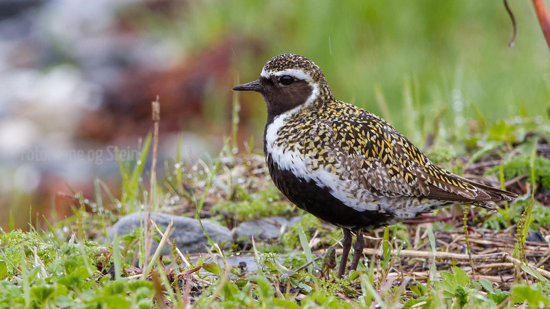HEILO Golden plover