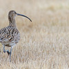 STORSPOVE CURLEW