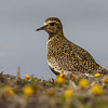 HEILO GOLDEN PLOVER FEMALE